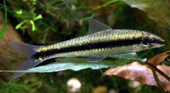 crossocheilus-siamensis-algae-eater-aquarium-fish-sae-aquacult-1510-07-aquacult@42